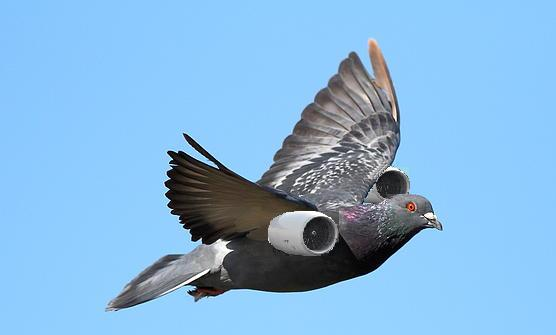 Fly Faster Home with StamoxVet for Racing Pigeons